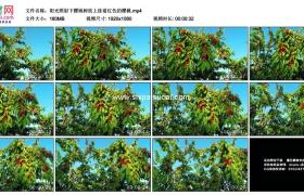 高清实拍视频素材丨阳光照射下樱桃树枝上挂着红色的樱桃