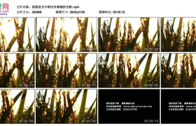 4K实拍视频素材丨摇摄逆光中稻田里稻穗的光影