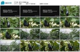 [高清实拍素材]蔬菜-茄子的种植