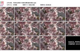 高清实拍视频素材丨早春阳光照射下的粉色樱花随风摆动