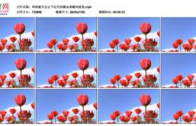 4K视频素材丨仰拍蓝天白云下红色的郁金香随风摇曳