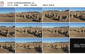 高清实拍视频素材丨阳光照射着牧场里圈养的绵羊