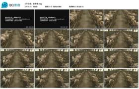 [高清实拍素材]猪养殖