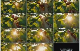 高清实拍视频素材丨特写在逆光下摘下樱桃树上的红色樱桃