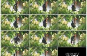 高清实拍视频素材丨特写一只小鸟在树枝上吃樱桃