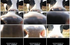 4K实拍视频素材丨特写好奇的奶牛看着相机并凑上镜头
