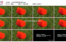 高清实拍视频素材丨一朵红色的罂粟花随风摆动