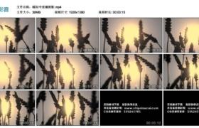 【高清实拍素材】暖阳中麦穗剪影