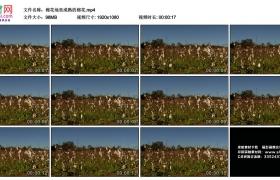 高清实拍视频丨棉花地里成熟的棉花
