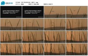 [高清实拍素材]夕阳下的自然风光5(天鹅飞)