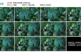 高清实拍视频丨摇摄挂在葡萄藤上的葡萄