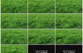 高清实拍视频素材丨风吹过稻田翻起绿色波浪