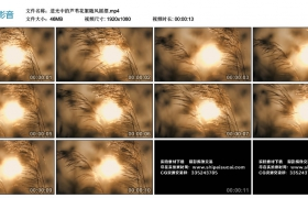 高清实拍视频素材丨逆光中的芦苇花絮随风摇摆