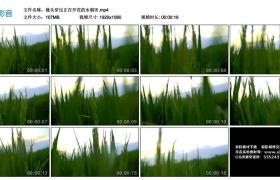 高清实拍视频丨镜头穿过正在开花的水稻田