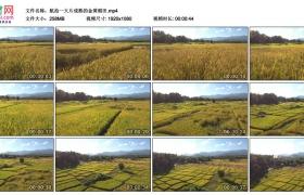 高清实拍视频丨航拍一大片成熟的金黄稻田