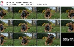 高清实拍视频素材丨一只可爱的狗狗趴在草地上啃木头