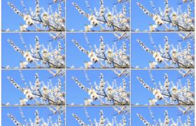 高清实拍视频素材丨蓝天前阳光着白色的樱花