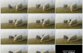 高清实拍视频素材丨在草地上吃草的三只绵羊