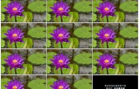 4K实拍视频素材丨特写紫色的莲花