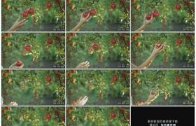 高清实拍视频素材丨特写在果园中采摘苹果