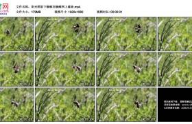 高清实拍视频素材丨阳光照射下蜘蛛在蜘蛛网上捕食