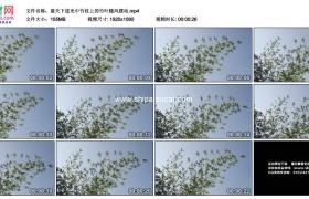 高清实拍视频素材丨蓝天下逆光中竹枝上的竹叶随风摆动