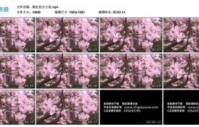高清实拍视频素材丨粉红的玉兰花——紫玉兰