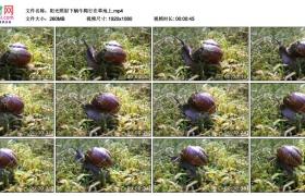 高清实拍视频素材丨阳光照射下蜗牛爬行在草地上