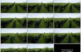4K实拍视频素材丨葡萄园里种植的葡萄