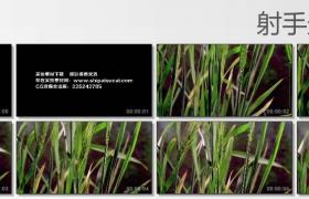 [高清实拍素材]小麦快速生长