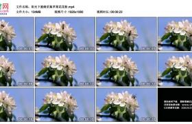 高清实拍视频丨阳光下蜜蜂采集苹果花花粉
