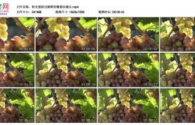 高清实拍视频素材丨阳光透射过新鲜的葡萄拉镜头