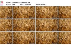 高清实拍视频丨麦田里成熟的小麦麦穗随风摆动