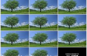 高清实拍视频素材丨春季蓝天白云下草地上一棵枝繁叶茂的大树延时摄影