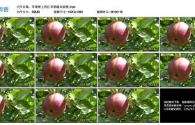 高清实拍视频丨苹果树上的红苹果随风摇摆