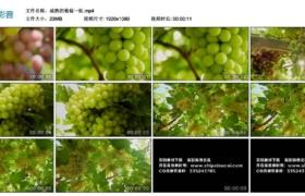 【高清实拍素材】成熟的葡萄一组