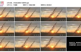 高清实拍视频素材丨夕阳逆光照射下的野草