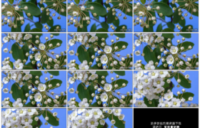 4K实拍视频素材丨摇摄蓝色背景前白色的茉莉花次第绽放延时摄影