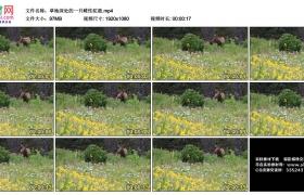 高清实拍视频丨草地深处的一只雌性驼鹿