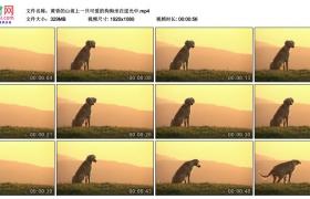高清实拍视频素材丨黄昏的山坡上一只可爱的狗狗坐在逆光中