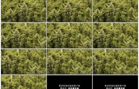 4K实拍视频素材丨摇摄种植园里随风摆动的大麻