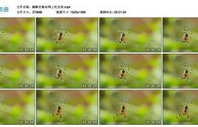 高清实拍视频丨蜘蛛在蛛丝网上吃东西