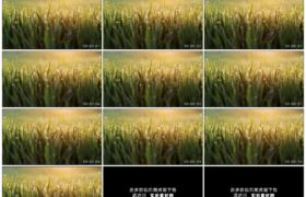 高清实拍视频素材丨清晨逆光中挂着露珠的青草