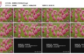 4K实拍视频素材丨摇摄粉红色的郁金香