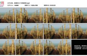 高清实拍视频丨摇摄阳光下的葡萄园