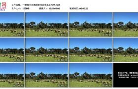 高清实拍视频丨一群绵羊在洒满阳光的草地上吃草