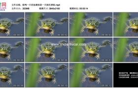4K实拍视频素材丨蛙鸣一片的池塘里的一只绿色青蛙