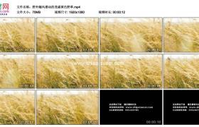 高清实拍视频素材丨野外随风摆动的茂盛黄色野草
