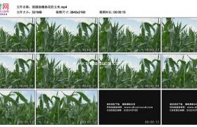4K实拍视频素材丨摇摄抽穗扬花的玉米