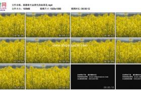 高清实拍视频素材丨摇摄春天金黄色的油菜花